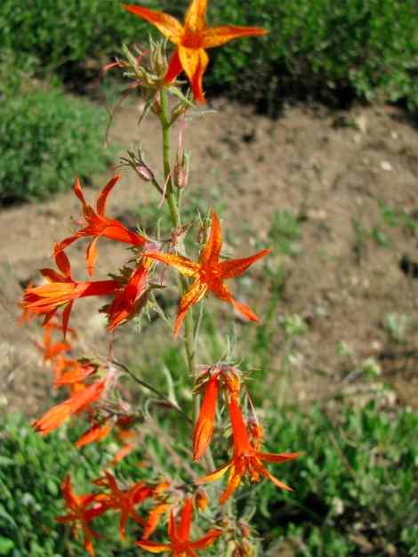 Ipomopsis aggregata, Scarlet Gilia #  - 06.jpg