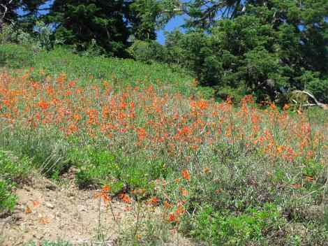 Ipomopsis aggregata, Scarlet Gilia en masse.jpg