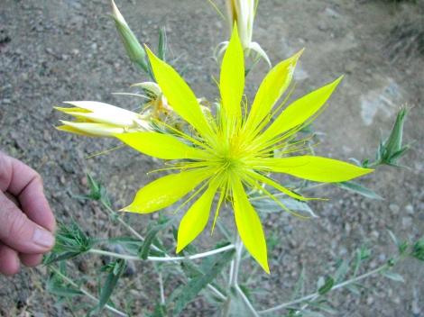 Mentzelia laevicaulis, Blazing star1.jpg