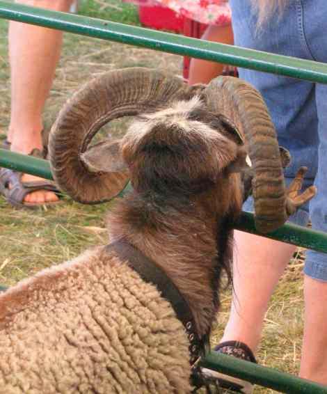 Ram'sHead.jpg
