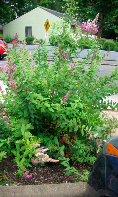 Spiraea douglasii full plant.jpg