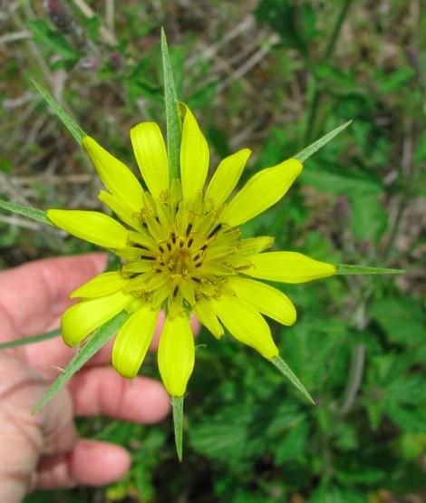 Tragopogon dubius  -Yellow Salsify,Western Salsify -flower.jpg