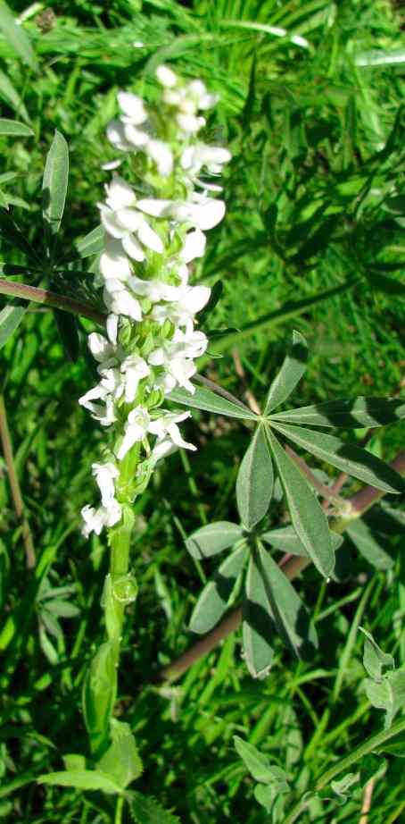 White bog orchid, Platanthera leucostachys   - 1.jpg
