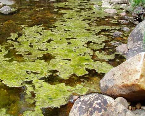Algae by rocks.jpg