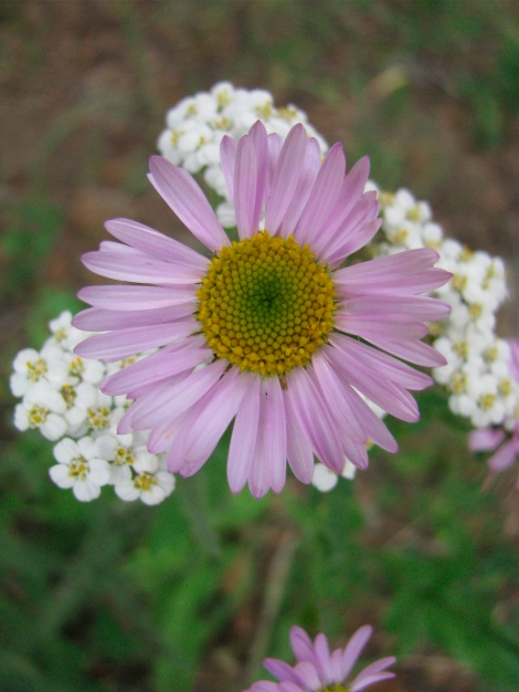 Aster family purple, and yarrow.jpg