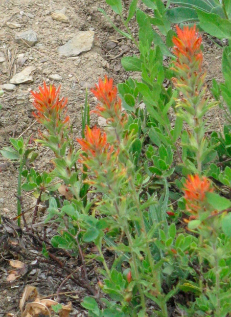 Castilleja applegatei, Wavy-leaf Paintbrush.jpg