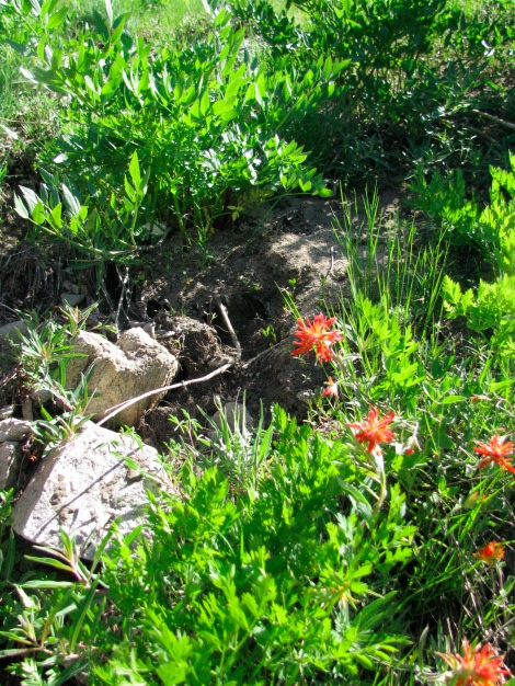 Castilleja species along a seep.jpg