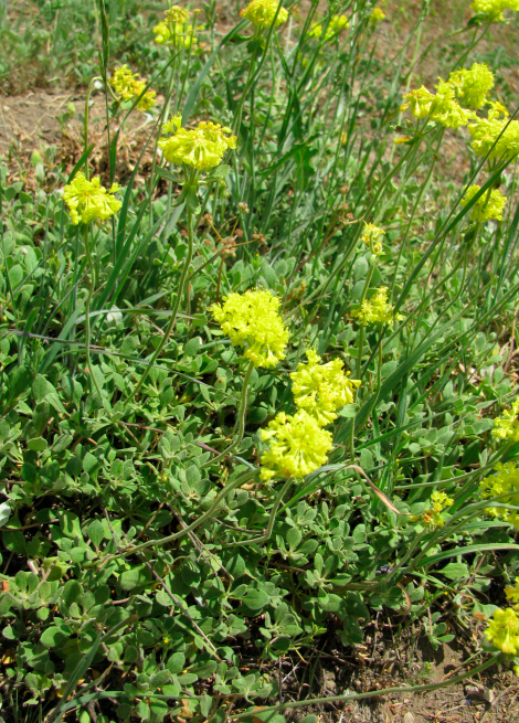 Eriogonum umbellatum, Sulphur-flower Buckwheat.jpg