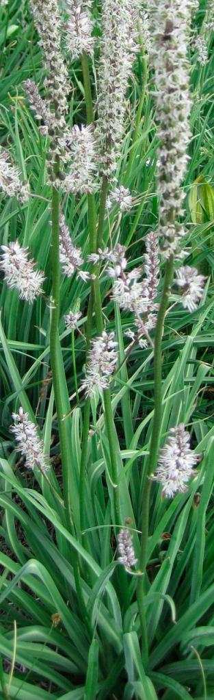 Hastingsia alba, foliage.jpg