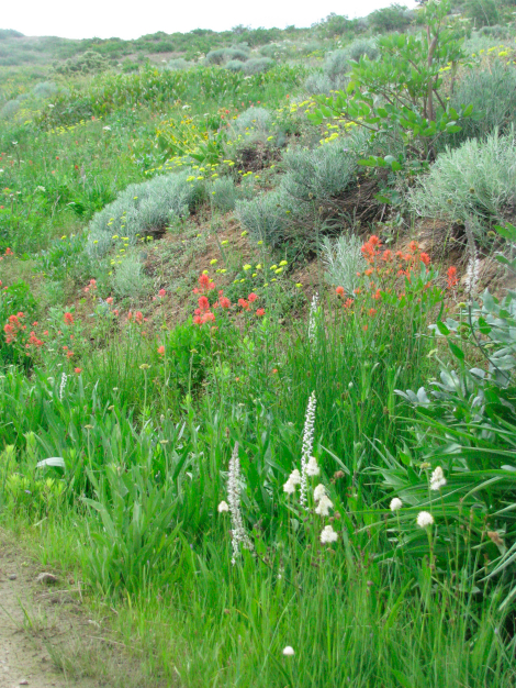 Mt. Ashland flower scene.jpg