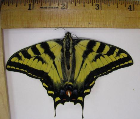 Papilio 02 Dorsal.jpg