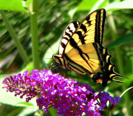 Papilio rutulus.jpg