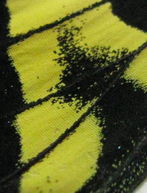 Papilio42 CLOSE 1.jpg