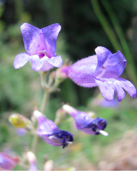 Penstemon, unknown species 1 FLOWERS.jpg