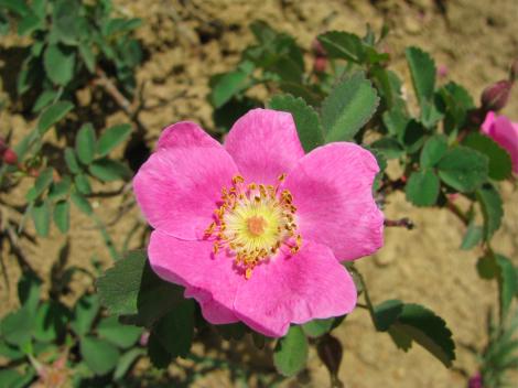 Rosa woodsii, Woods' rose.jpg