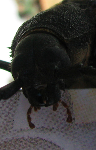 Ergates spiculatus Spined woodborer palps.jpg