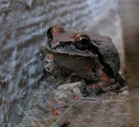 Frog, looking, red markings IMG_7326.jpg