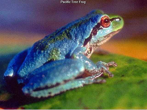 Pacific Tree Frog, blue morph.jpg