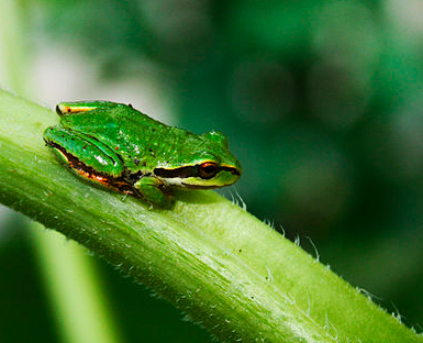 Pacific Tree Frog, green.jpg
