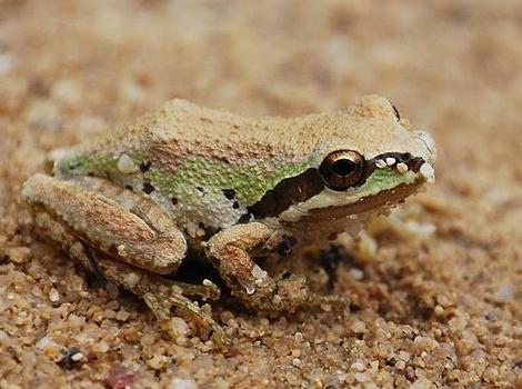 Pacific Tree Frog, Wikimedia.jpg