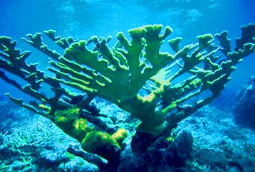Healthy Elkhorn coral (Acropora palmata).jpg