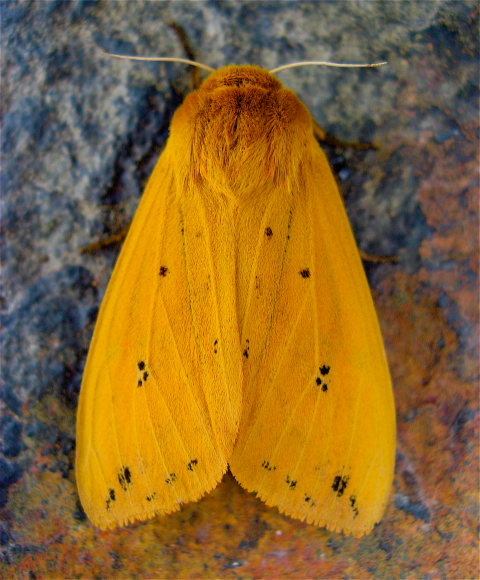 Pyrrharctia_isabella, Isabella Tiger Moth, which develops from the Woolly Bear caterpillar.jpg