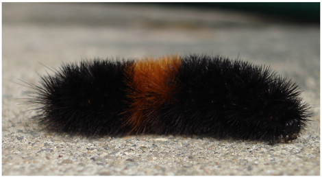 Woolly bear caterpillar, which becomes Pyrrharctia_isabella, the Isabella Moth.jpg