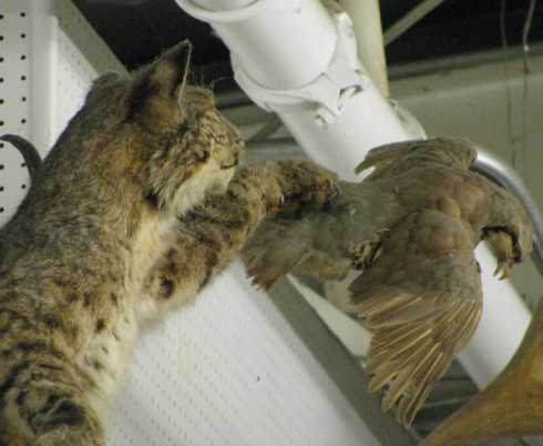 BlackBird taxidermy display, bobcat leaps for grouse.jpg