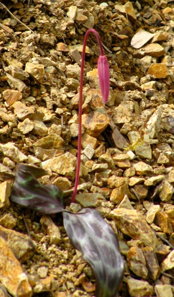 Erythronium hendersonii in scree