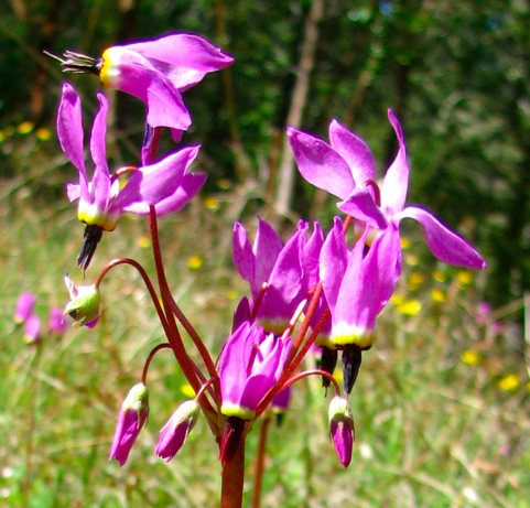 Henderson's Shooting Star, Dodecatheon hendersonii