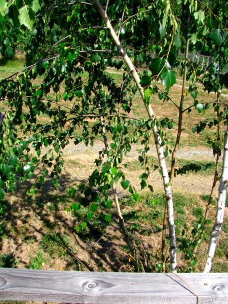Birches IMG 2160